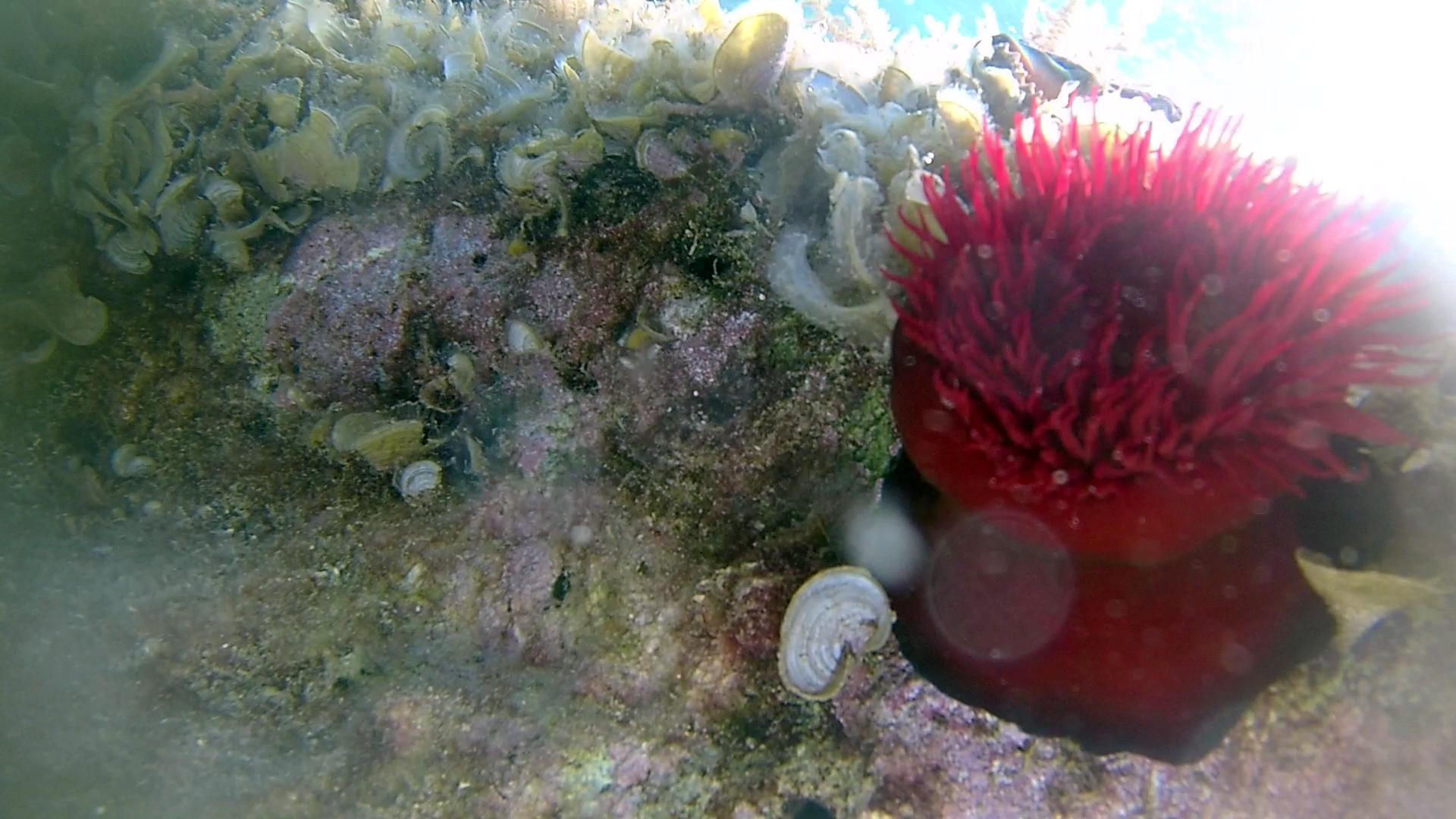 Actinia equina - Pomodoro di mare - Beadlet anemone - intotheblue.it