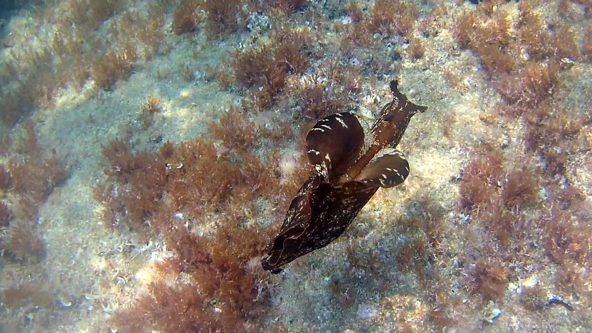 La Lepre Marina - Aplysia depilans - Ballerina Spagnola del Mediterraneo - Depilatory Sea Hare - intotheblue.it