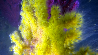 The Gold Coral Reproduction
