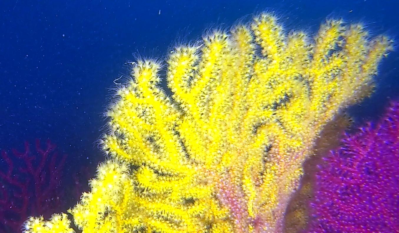 Rilascio dei gameti di Savalia savaglia - Release of gametes of Gold coral - intotheblue.it