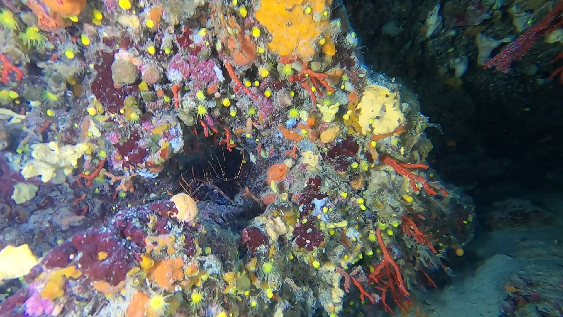 Aragosta Mediterranea Palinurus elephas Spiny lobster - Corallo Rosso - Corallium Rubrum - intotheblue.it