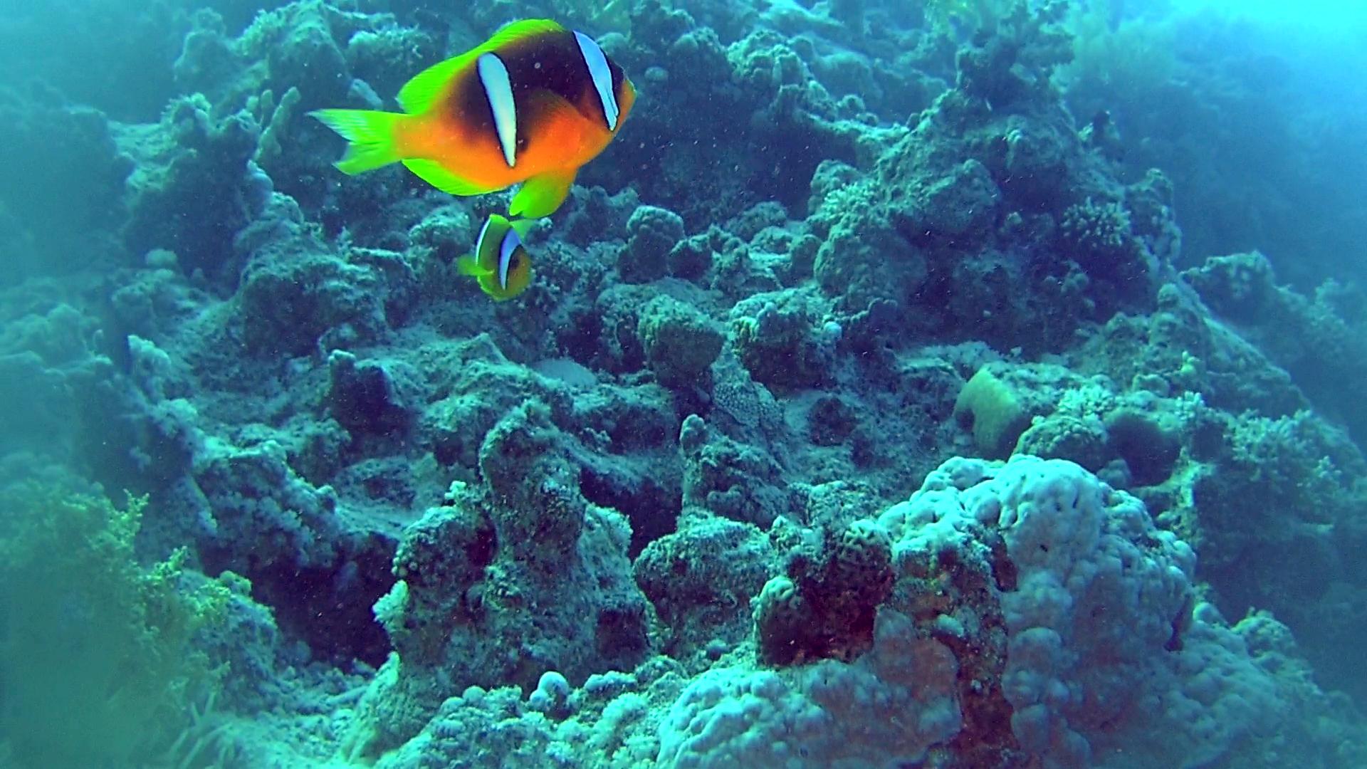 Pesce Pagliaccio dalla Coda Gialla - Amphiprion clarkii - Pesce Pagliaccio di Clark - Yellowtail Clownfish - Clark's anemonefish - intotheblue.it