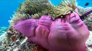 Magnificent sea anemone - Heteractis magnifica