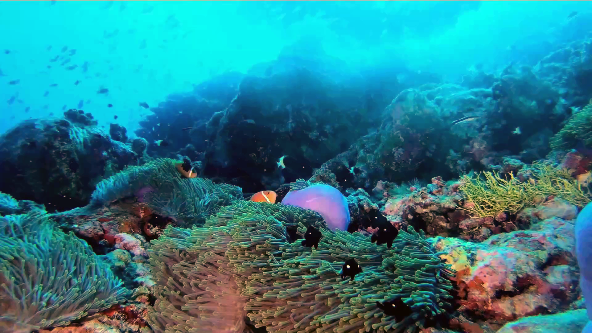 anemone Ritteri - magnificent sea anemone - anemone magnifica - Heteractis magnifica - intotheblue.it