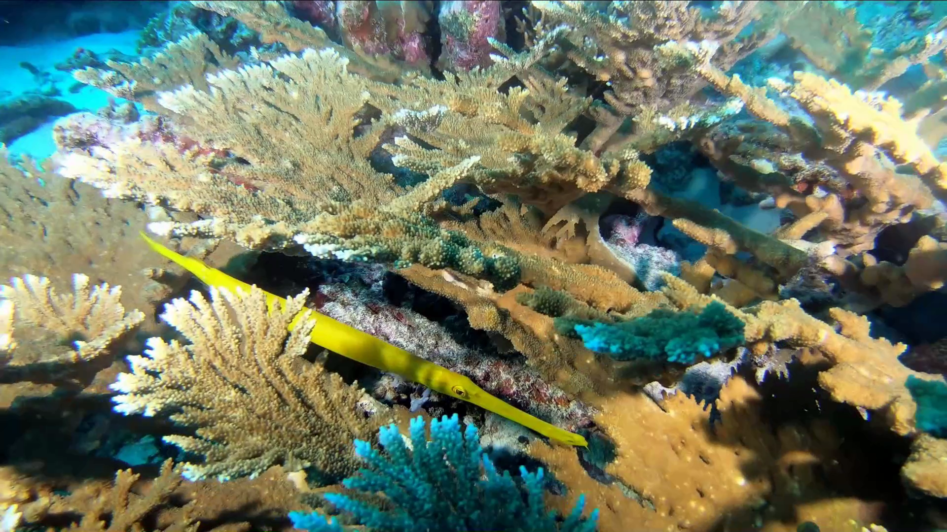 Pesce Trombetta cinese - Aulostomus chinensis - Chinese Trumpetfish - intotheblue.it