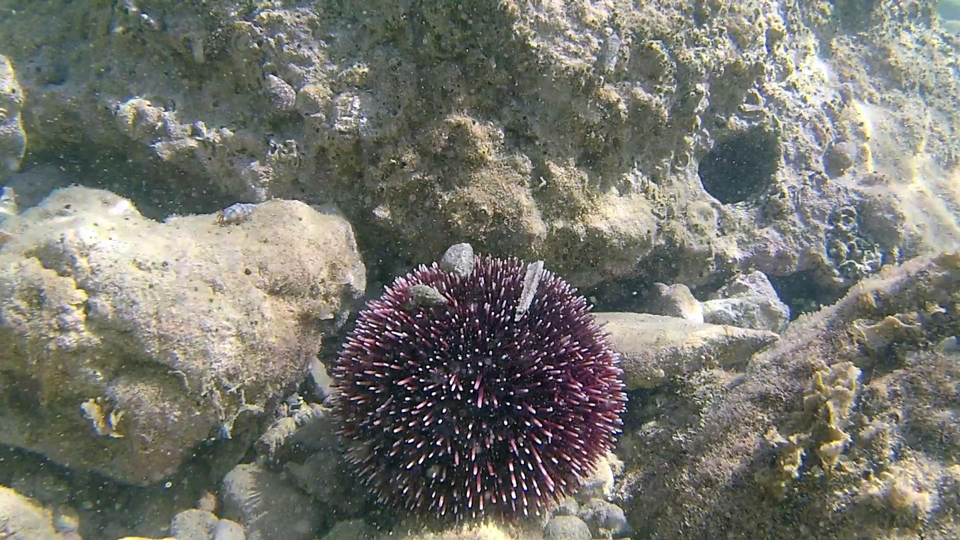 Riccio di Prateria - Sphaerechinus granularis - Purple sea Urchin - intotheblue.it