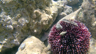 The Purple sea Urchin