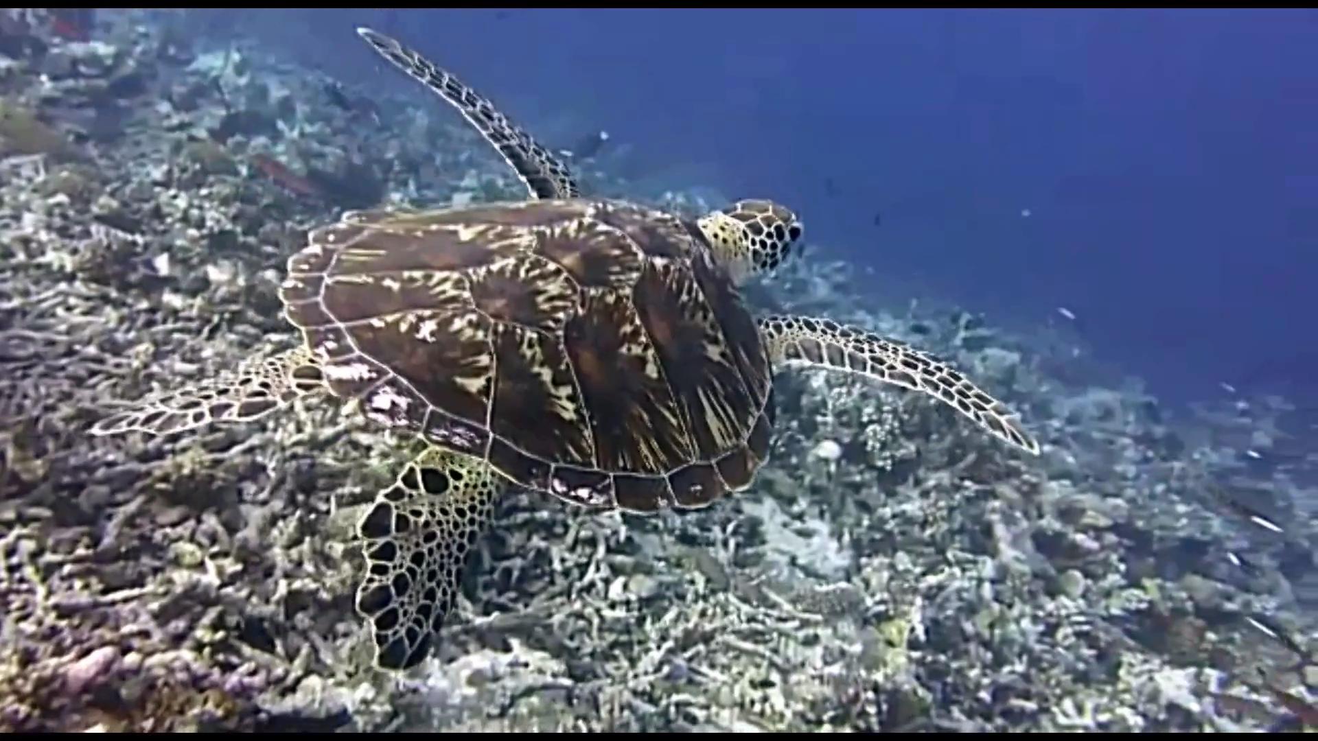 La Tartaruga marina Caretta caretta - The Loggerhead sea Turtle - intotheblue.it