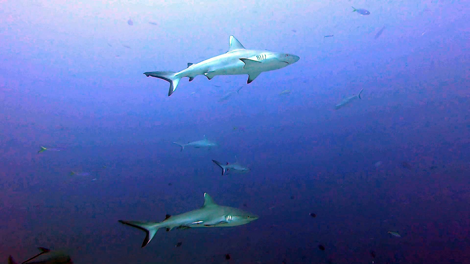 Squalo grigio - Carcharhinus amblyrhynchos - Grey reef Shark - intotheblue.it