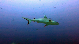 The Grey reef Shark