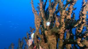 Black Turret coral - Tubastraea micranthus