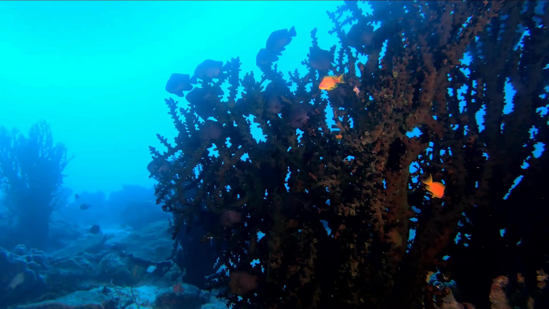 Black Turret coral - Corallo Tubastraea micranthus - intotheblue.it