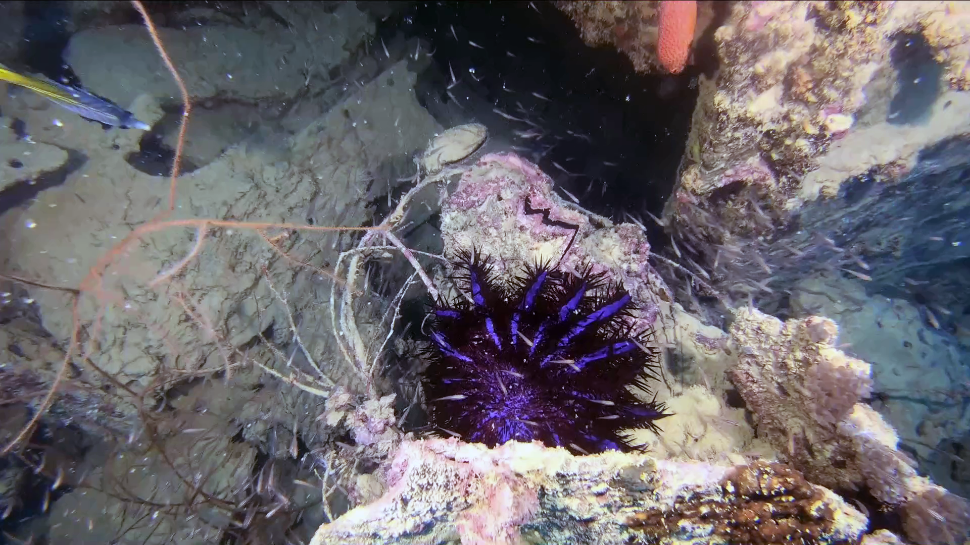 Stella Corona di Spine - Acanthaster planci - Crown-of-thorns Starfish - intotheblue.it