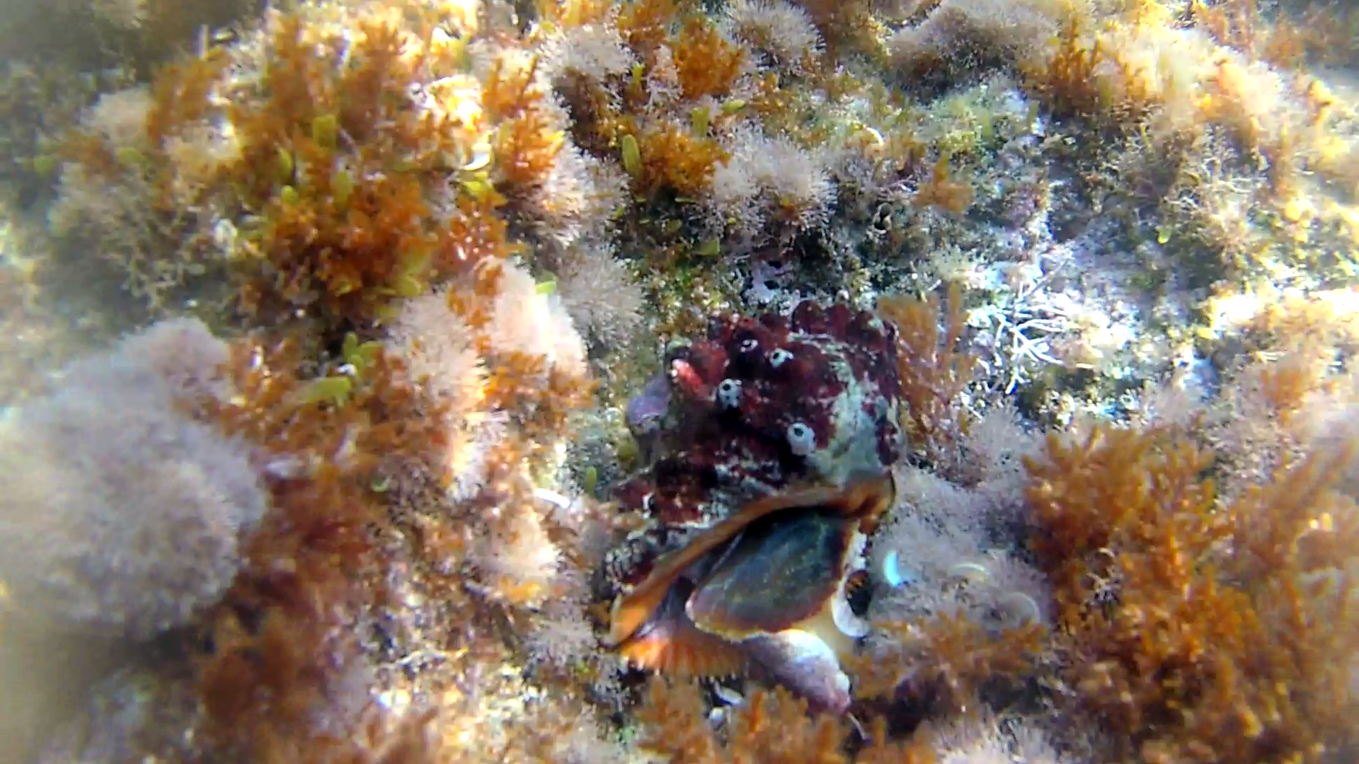 Conchiglia Stramonita haemastoma - Red-mouthed rock shell - intotheblue.it