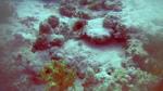 Pesce Leone - Pesce Scorpione - Pterois volitans - Red Lionfish - intotheblue.it