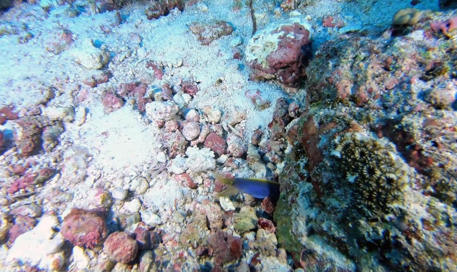Murena a nastro maschio - Ribbon eel male - Rhinomuraena quaesita - intotheblue.it