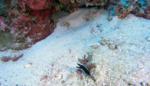 Murena a nastro nera (presunta fase giovanile) - Ribbon eel in black (presumed juvenile stage) - Rhinomuraena quaesita - intotheblue.it