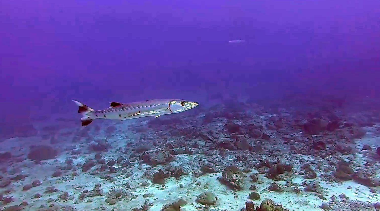 Il grande Barracuda - Sphyraena barracuda - The great Barracuda - intotheblue.it