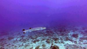 Grande Barracuda- Sphyraena barracuda