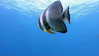 Orbicular batfish - Platax orbicularis