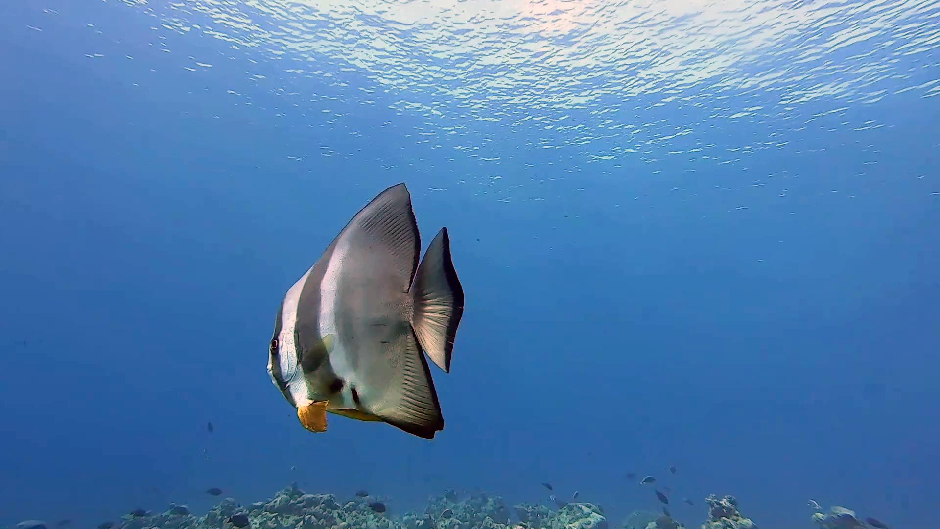 pesce Pipistrello - orbicular Batfish - Platax orbicularis - intotheblue.it