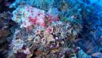 invasione di ricci Matita - invasion of Stylocidaris affinis sea urchins - intotheblue.it