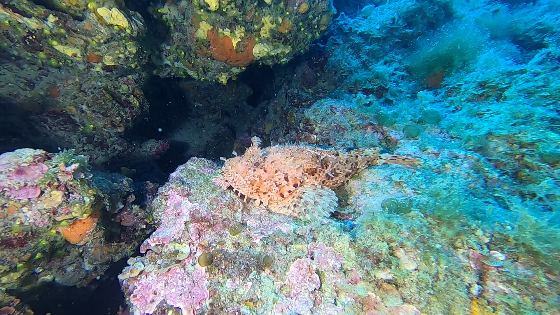 Scorfano Rosso Red Scorpionfish Scorpaena scrofa intotheblue.it