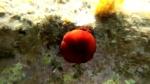 Snorkeling Actinia equina Pomodoro di mare Beadlet anemone intotheblue.it