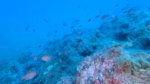 Murena - Muraena helena Moray eel intotheblue.it