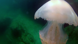 Barrel jellyfish partially eaten by fish