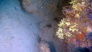 Mediterranean reef with spiny Lobsters