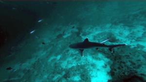 Squalo dalle punte argentee- Carcharhinus albimarginatus