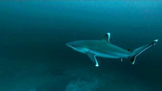 TheSilvertip Shark