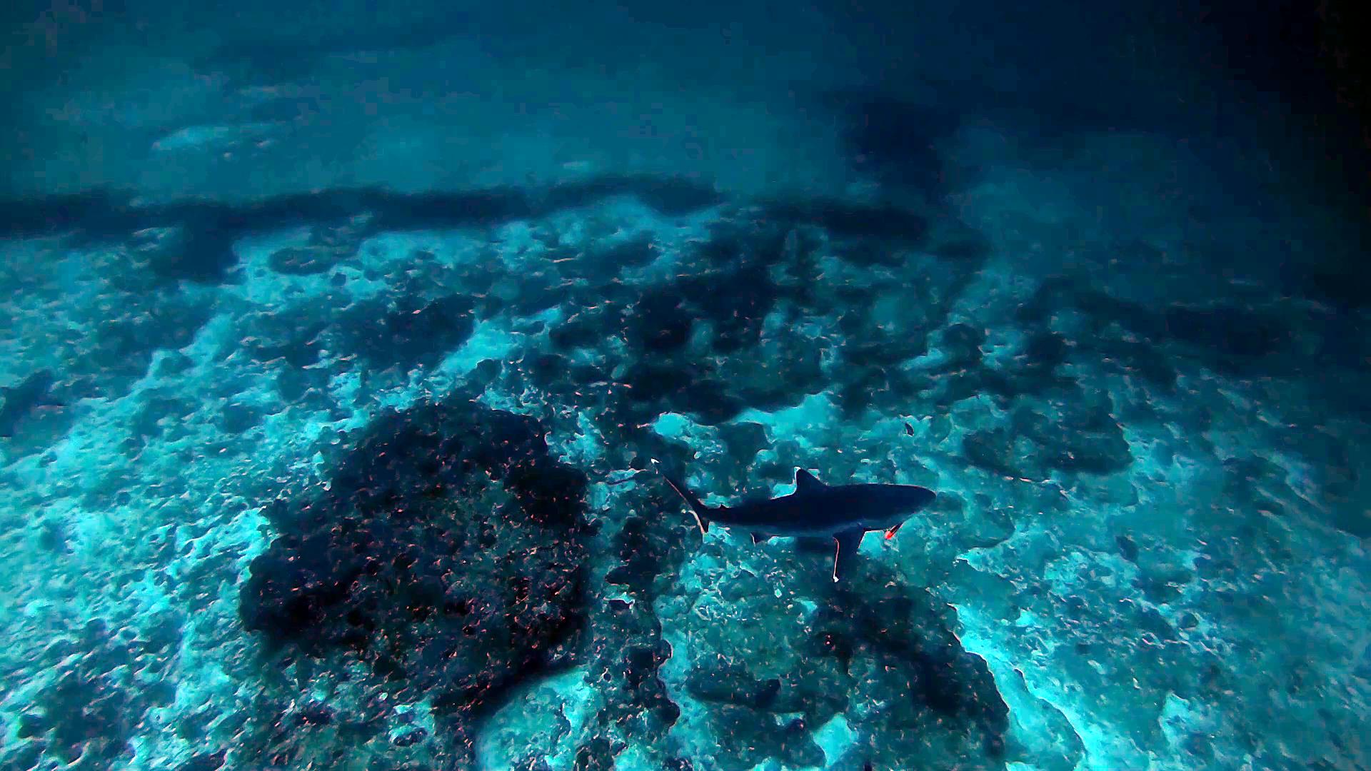 The silvertip Shark - Carcharhinus albimarginatus - Squalo dalle punte argentee - intotheblue.it