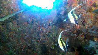 Il pesce Idolo Moresco