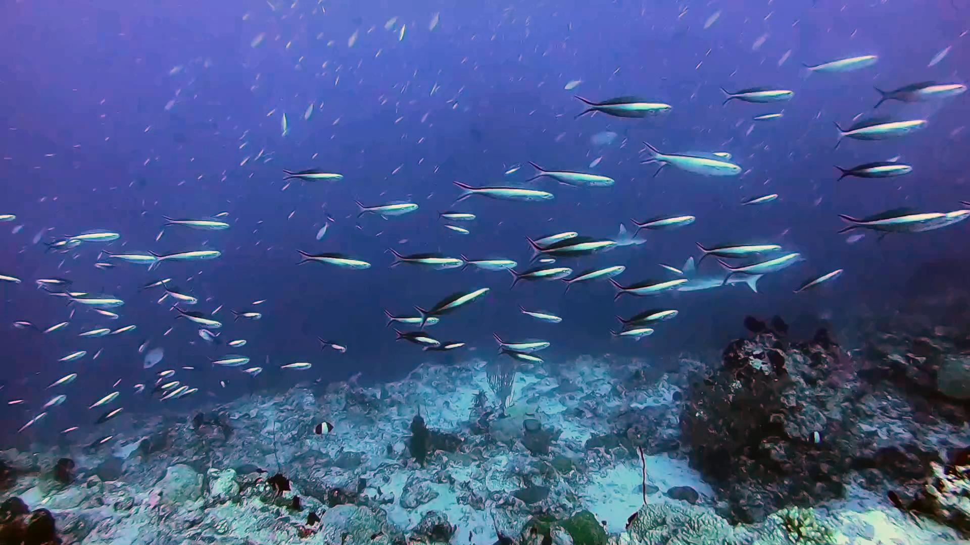 Pesci Fucilieri - Fusilier fish - The Caesio - Caesionidae - intotheblue.it