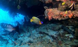 Pesce Angelo faccia blu - Pomacanthus xanthometopon