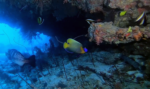 Pesce Angelo faccia blu - Pomacanthus xanthometopon - Blueface Angelfish - intotheblue.it