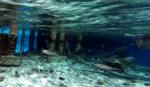 Il calamaro di Lesson - Sepioteuthis lessoniana - Bigfin reef Squid - intotheblue.it