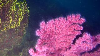 The Paramuricea clavata Reproduction