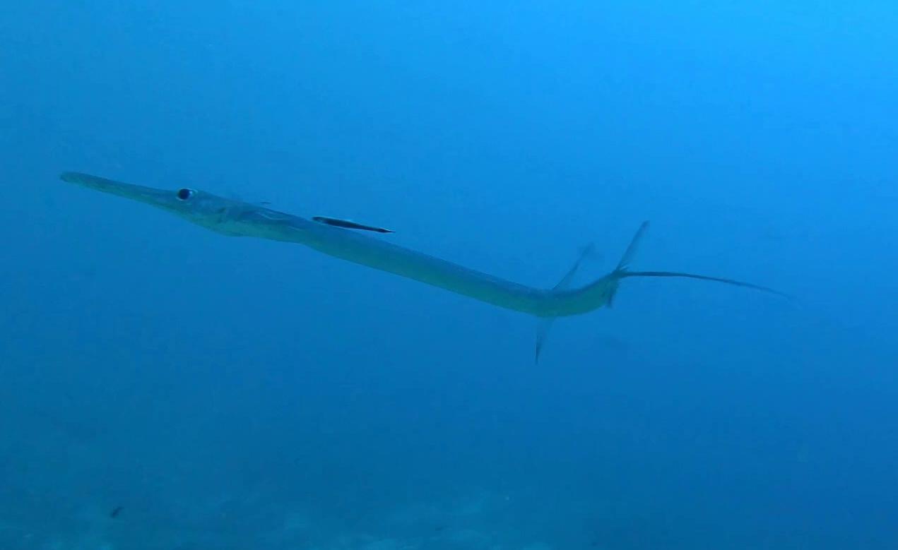 Pesce flauto - Fistularia commersonii