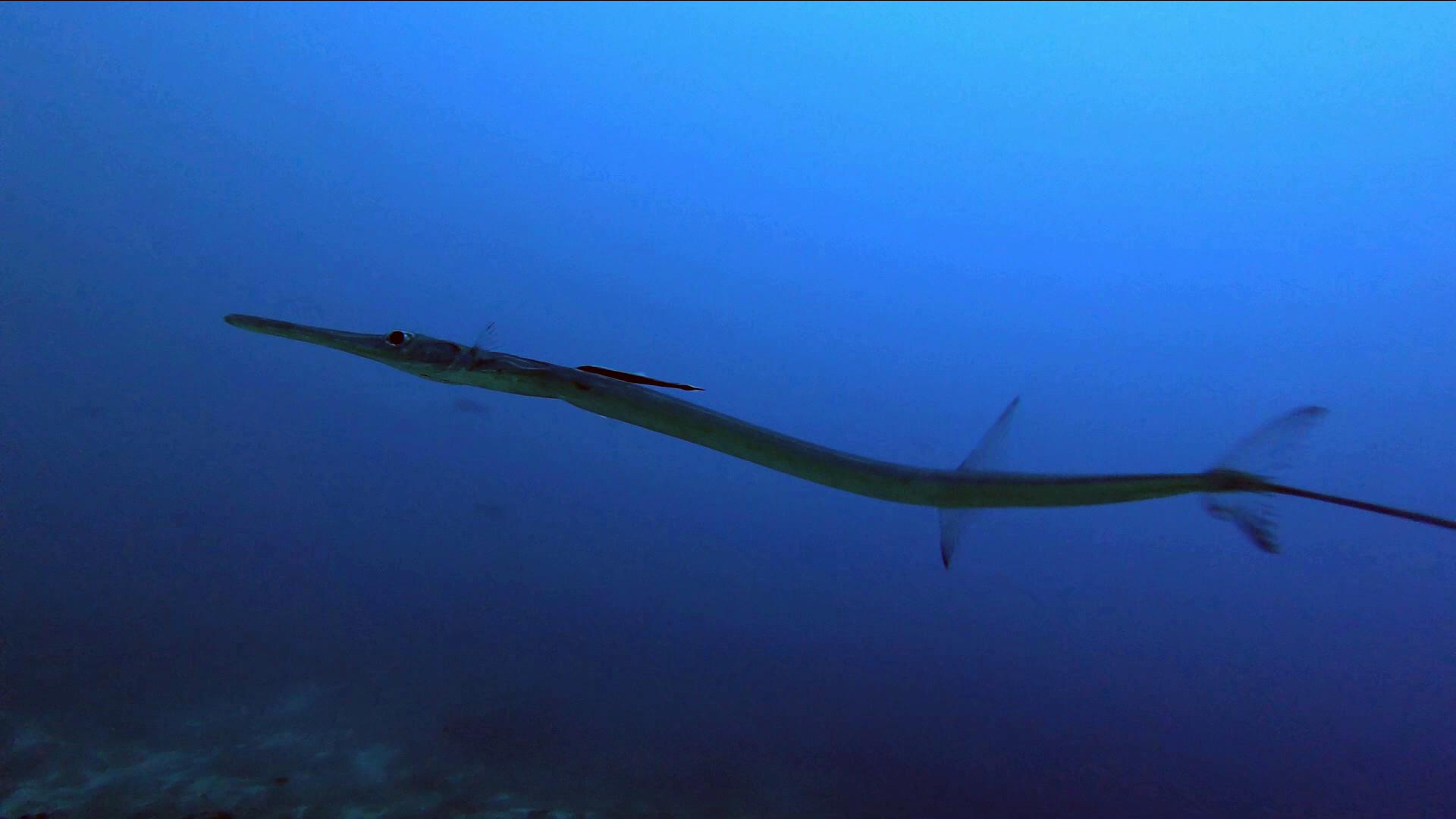 The bluespotted Cornetfish - Fistularia commersonii - Il Pesce Flauto - intotheblue.it