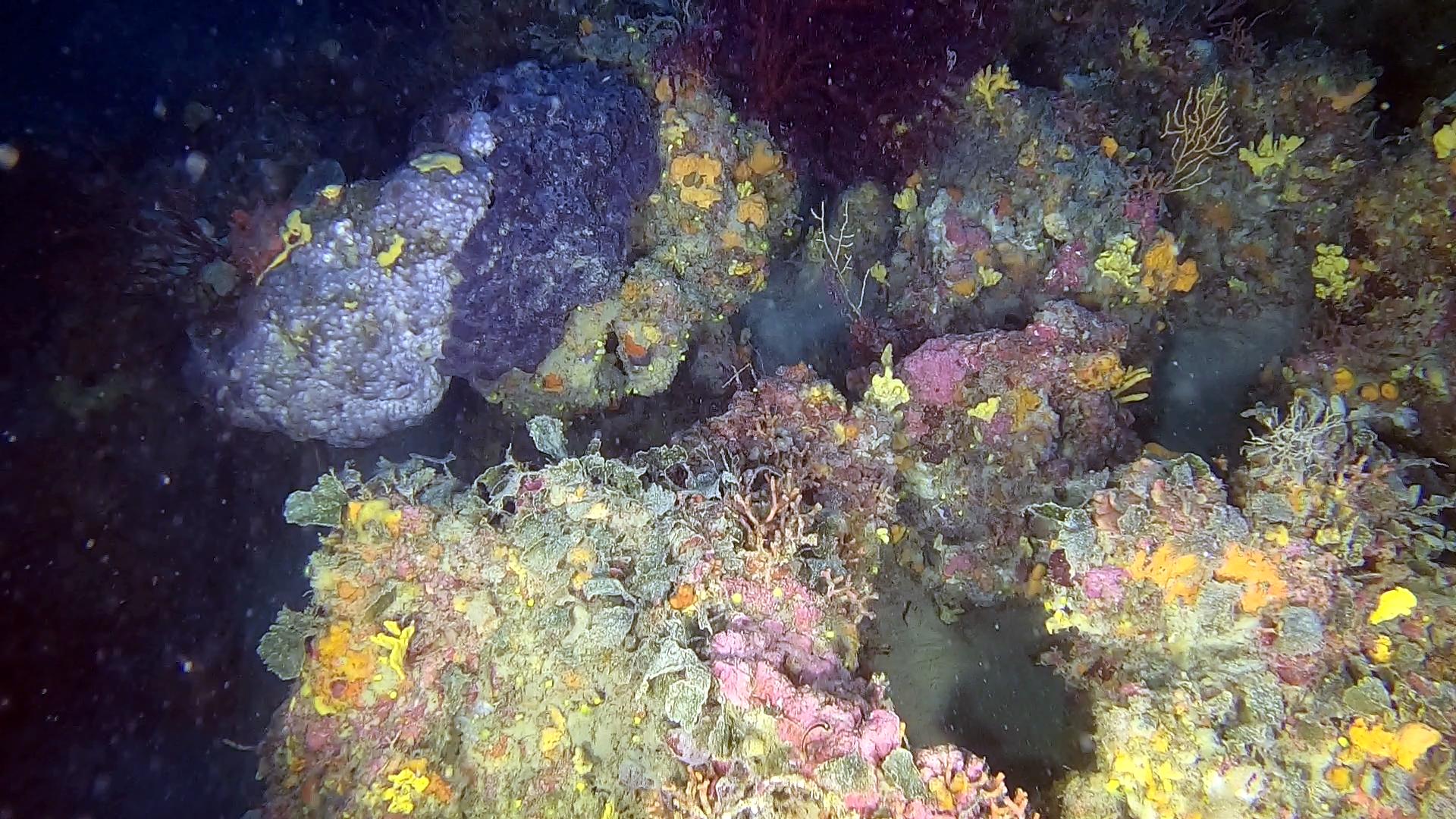 Spongia officinalis - Spugna da bagno - bath Sponge - intotheblue.it
