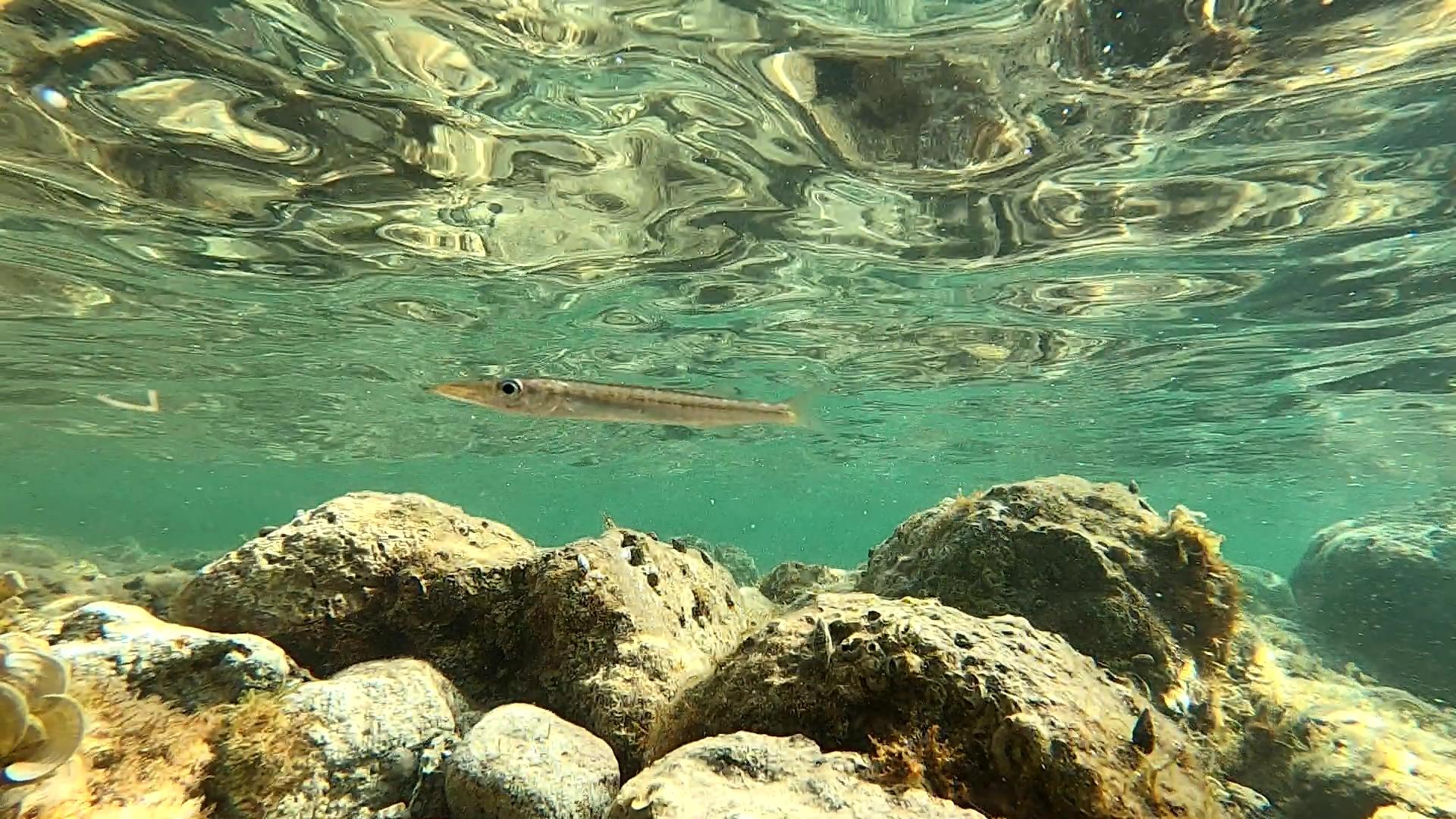 Barracuda mediterraneo Sphyraena viridensis Yellowmouth barracuda intotheblue.it