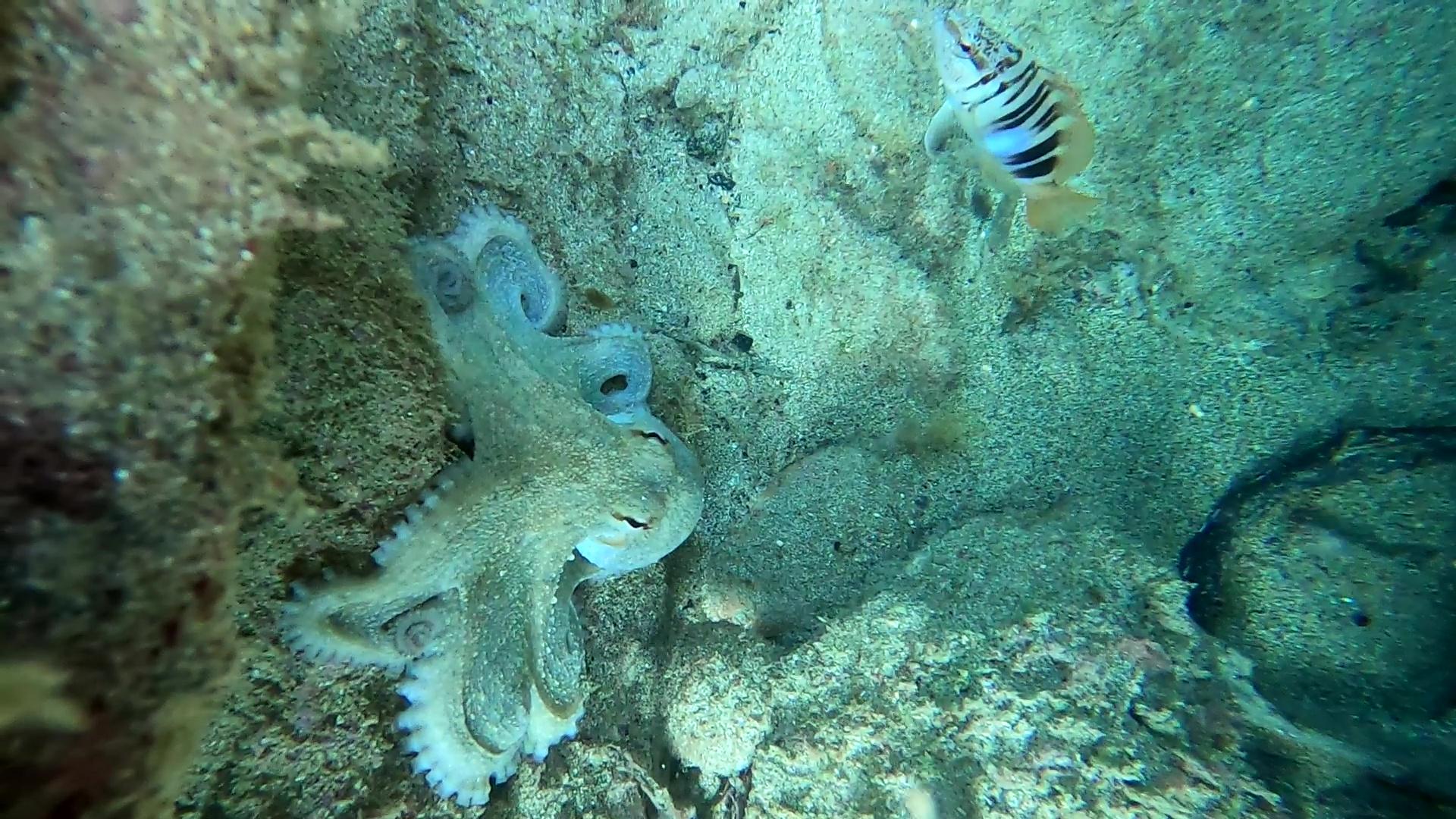 Polpo comune - Octopus vulgaris - Sciarrano - Serranus scriba - intotheblue.it