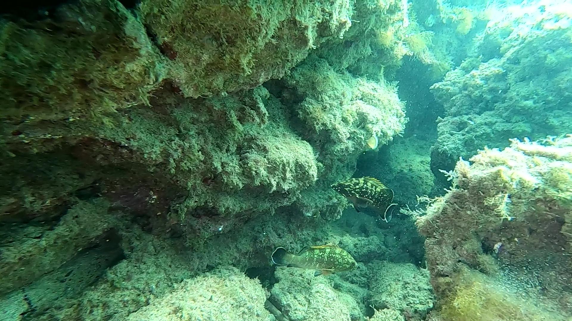 intotheblue.it - Epinephelus marginatus - Cernia bruna o Cernia mediterranea - Dusky grouper
