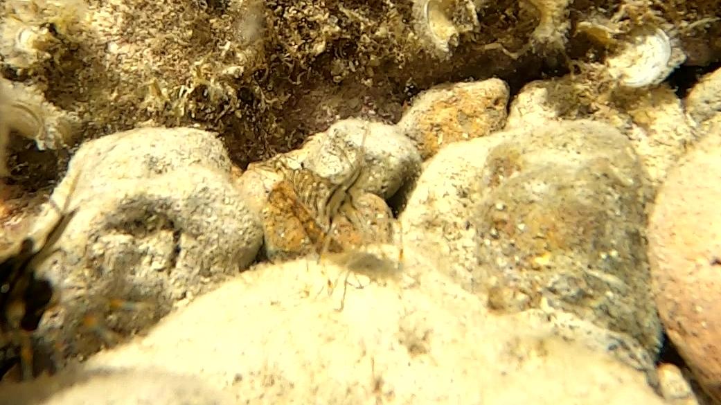 Gamberetto di porto o delle rocce - Palaemon elegans