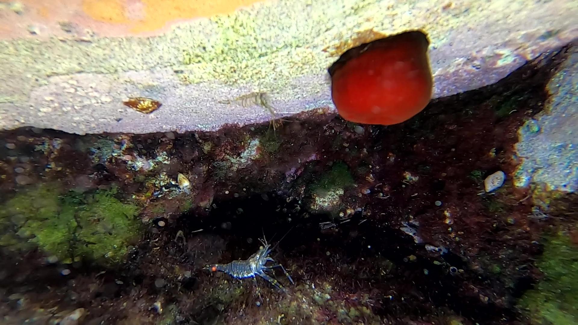 Gamberetto maggiore - Palaemon serratus - Common prawn - www.intotheblue.it