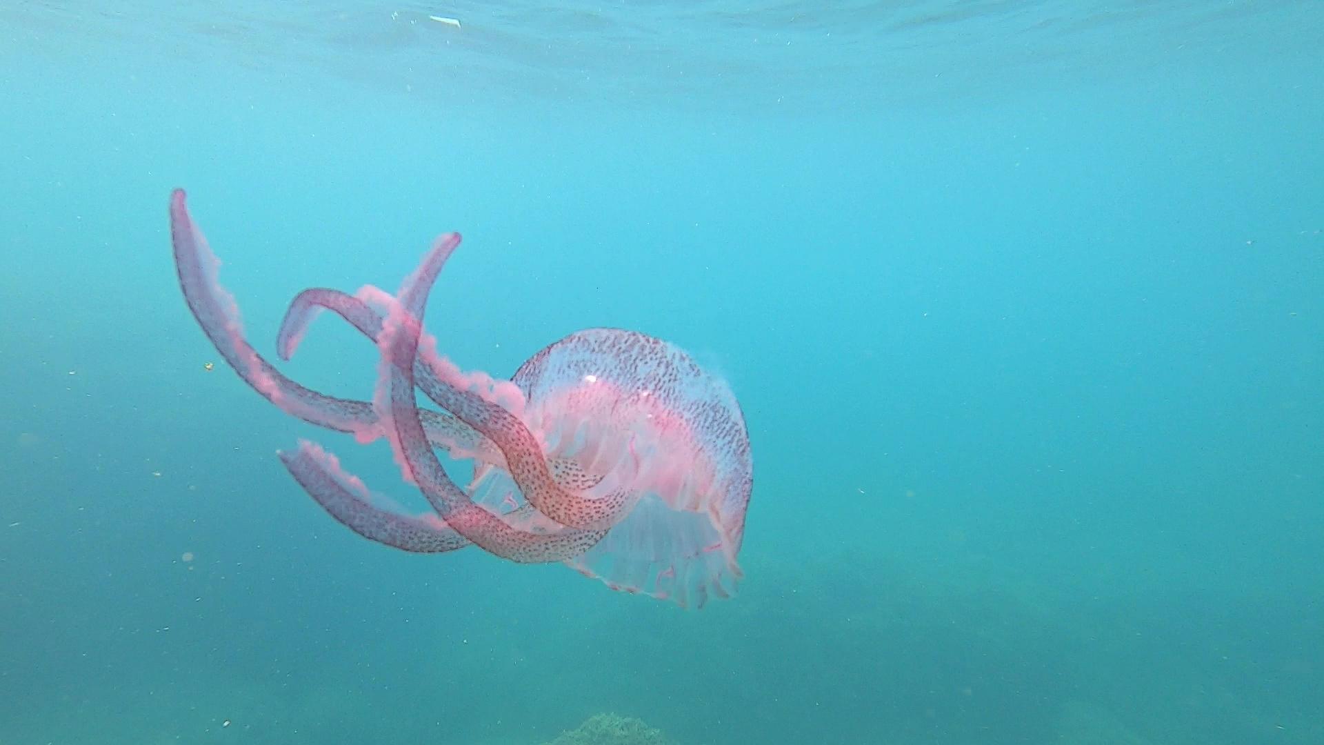 Medusa luminosa viola Pelagia noctiluca Mauve stinger-intotheblue.it