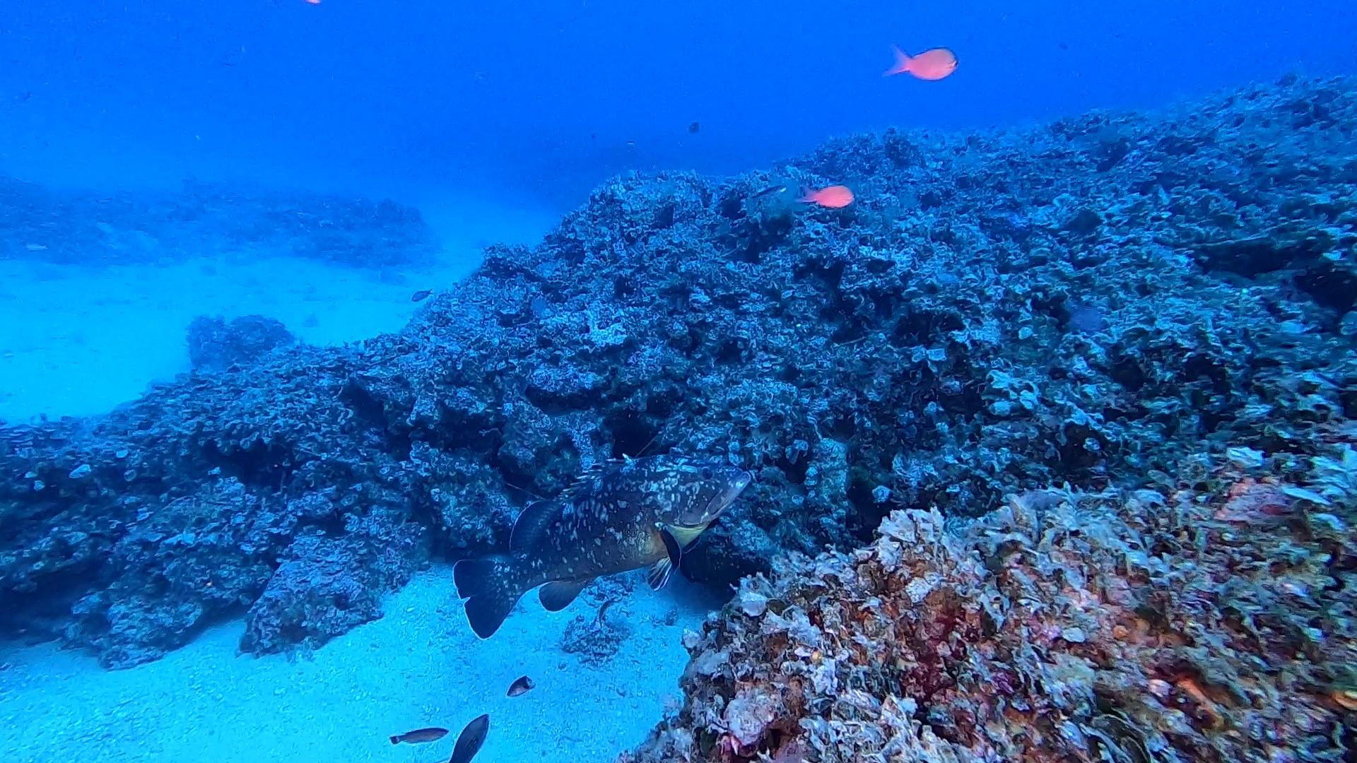 Missing Island L'Isola mancata www.intotheblue.it - Cernia Bruna Mediterranea - Dusky Grouper